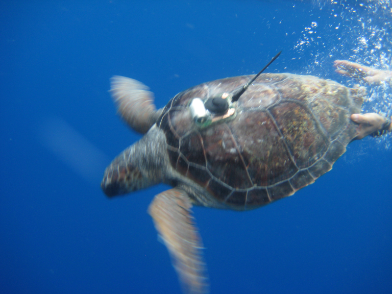Sea Turtle with sensor